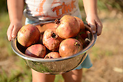 Child carries a bowl of organic pomegranates