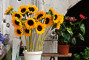 """Sunflowers for sale. Venice (Venezia) is the capital of Italy's Veneto region, named for the ancient Veneti people from the 10th century BC. The romantic """"City of Canals"""" stretches across 117 small islands in the marshy Venetian Lagoon along the Adriatic Sea in northeast Italy, between the mouths of the Po (south) and Piave (north) Rivers. The Republic of Venice was a major maritime power during the Middle Ages and Renaissance, a staging area for the Crusades, and a major center of art and commerce (silk, grain and spice trade) from the 13th through 17th centuries. The wealthy legacy of Venice stands today in a rich architecture combining Gothic, Byzantine, and Arab styles. Venice and the Venetian Lagoons are on the prestigious UNESCO World Heritage List. Composer Antonio Vivaldi (1678-1741) was born in Venice."""