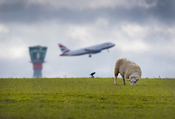 © Licensed to London News Pictures. 27/02/2020. London, UK. A sheep grazes in a field in the village of Sipson near Heathrow Airport as a British Airways passenger plane takes off from the north runway. Sipson is one of the villages that would have been partly demolished to make way for a third runway. Earlier, in a ruling at the High Court, judges halted the planned construction of a third runway at the London airport saying the decision was unlawful because it did not take UK climate commitments into account. Photo credit: Peter Macdiarmid/LNP