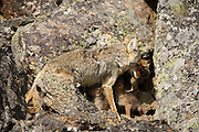 Coyote pups at a den in Yellowstone National Park, Wyoming.