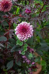 Dahlia 'Molly Raven', Hibiscus acetosella 'Mahogany Splendor' and Rhodochiton atrosanguineus 'Purple Bells' - Purple bell vine
