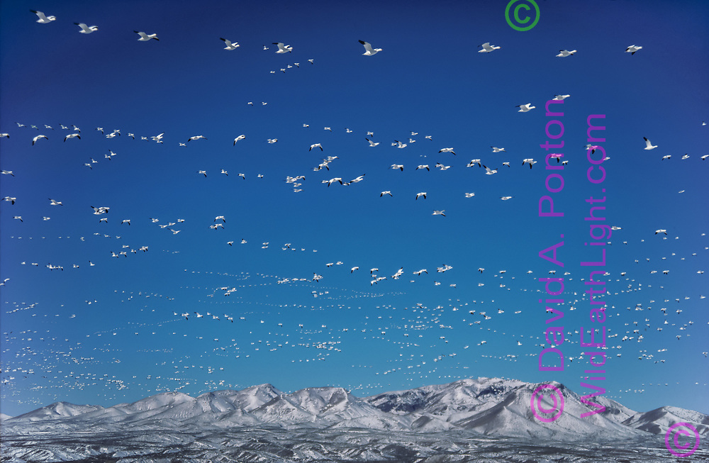 Snow geese flying en masse from overnight resting ponds in Bosque del Apache National Wildlife Refuge to feeding areas, with fresh snow on the Chupadera Mountains, New Mexico, © David A. Ponton