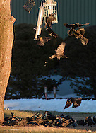 Common grackles  crowd around a bird feeder in Wawayanda, New York, on March 19, 2015.