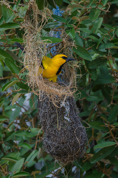 Yellow Oriole (Icterus nigrogularis) nest building<br /> BONAIRE, Netherlands Antilles, Caribbean<br /> HABITAT & DISTRIBUTION: Open woodland, scrub and gardens. Colombia, Venezuela, Trinidad, the Guianas and parts of northern Brazil and Bonaire.