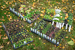 Converting a lawn into a meadow. Trays of mail order wildflower plug plants ready to be planted out into the grass in autumn.