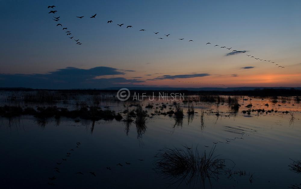 Early morning migration of Eurasian Cranes (Grus grus) at Lake Hornborga, Sweden.