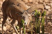 Israel, Hai Bar animal sanctuary, male wild sheep, Ovis aries