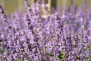 Bijen tussen Engelse lavendel - Bees between English lavender