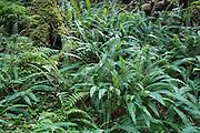 Deer Ferns.