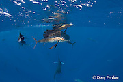 Atlantic sailfish, Istiophorus albicans, feeding on sardines that they have broken off from the small bait ball in the background, Yucatan Peninsula, Mexico ( Caribbean Sea )