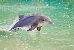 Atlantic bottlenose dolphin, Tursiops truncatus, jumping, Dolphin Quest, Hilton Waikoloa Village, Big Island, Hawaii, USA (c)