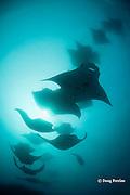 reef manta rays, Manta alfredi (formerly Manta birostris ), chain-feeding on plankton, Hanifaru Bay, Hanifaru Lagoon, Baa Atoll, Maldives ( Indian Ocean )