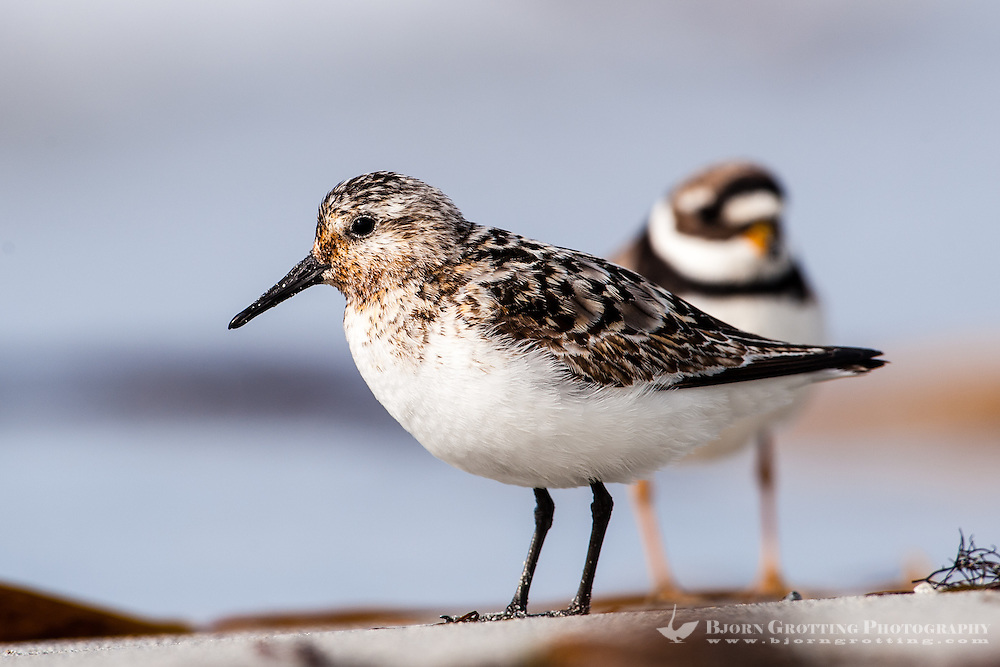 The Little Stint is a very small wader. At Revtangen on Jaeren, south west Norway.