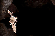 Two long-legged bats (Myotis volans) exit Pond Cave, one in hot pursuit of the other, in Craters of the Moon National Monument, Idaho.