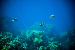 Fish Swimming in Blue Sea