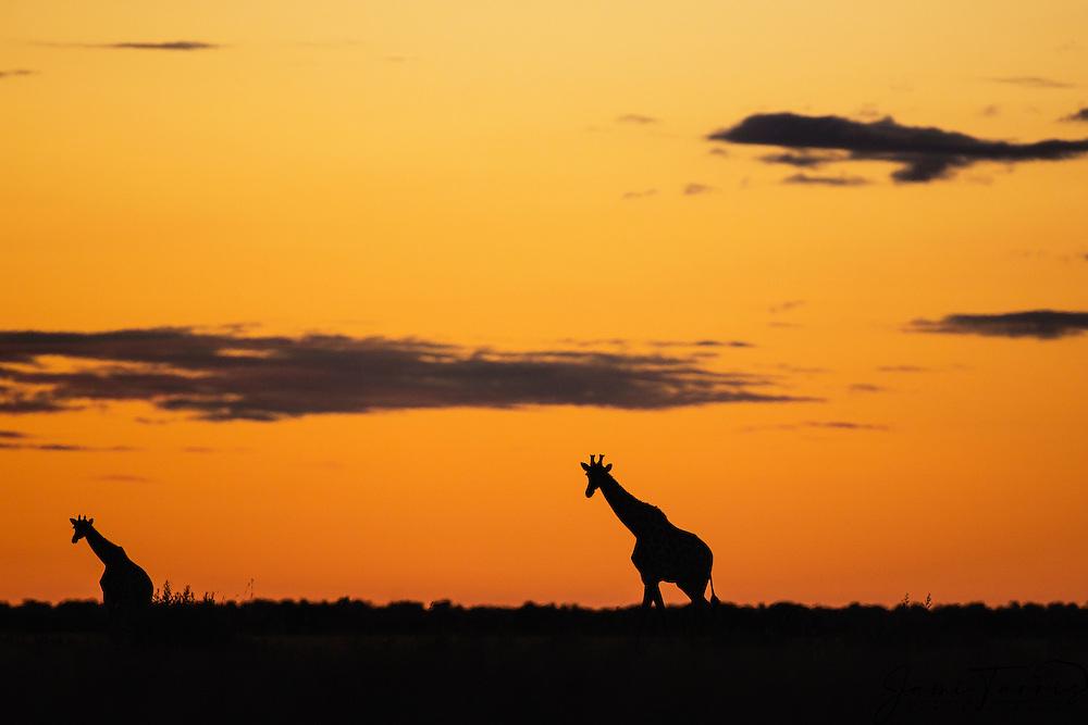 A southern giraffe herd (giraffa camelopardalis) walking backlit against a Kalahari sunset in the wet season , Kalahari, Botswana, Africa