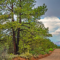 A dirt road runs through Ponderosa pine forests near Bears Ears Buttes in what remains of  Bears Ears National Monument after it was downsized by the Trump administration in 2017.