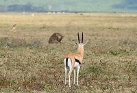 Thomson's Gazelle, Eudorcas thomsonii, watches a Spotted Hyena, Crocuta crocuta, in Ngorongoro Crater, Ngorongoro Conservation Area, Tanzania