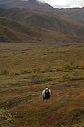 Grizzly Bear (interior Alaska), Ursus arctos; scenic, autumn, alpine tundra, hibernates in winter, Denali National Park, Alaska, ©Craig Brandt, all rights reserved; brandt@mtaonline.net