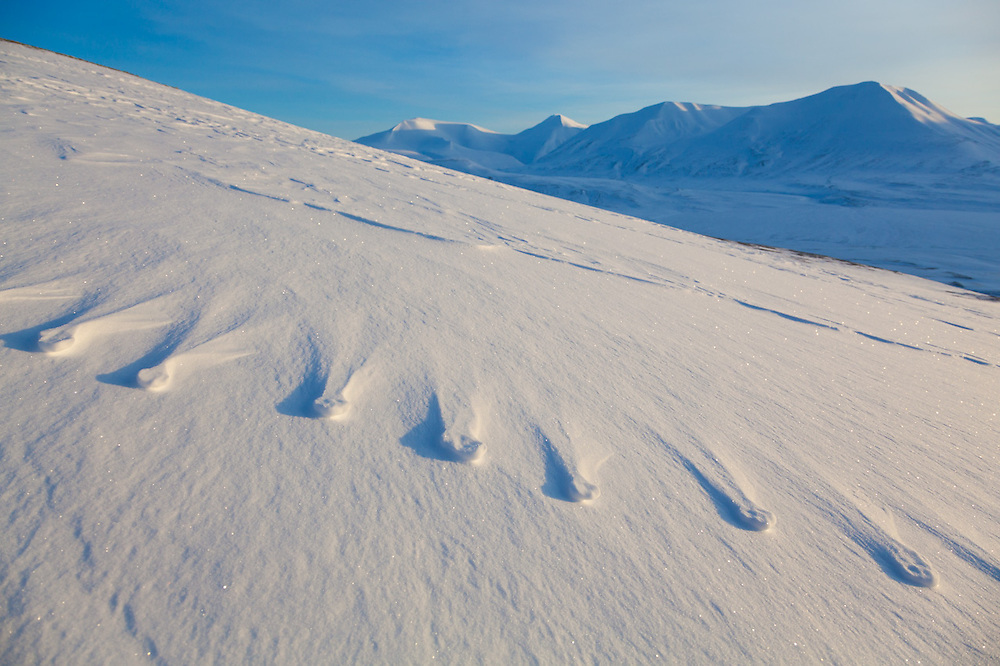 Windswept snow with embossed animal tracks on a hillside in Koslådalen, Svalbard.