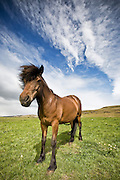Horse portrait with dynamic sky, south Iceland
