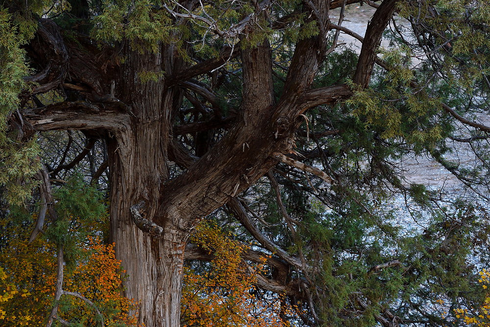 Tree in autumn colours at Nangqian Forest Reserve, Baixha Valley, Tibetan Plateau, Qinghai, China