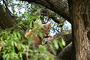 Alert and threatening lioness on tree. Photographed at Lake Manyara National Park. Home of the tree climbing lions, Arusha, Tanzania