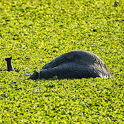 A young elephants plays in the water of a small reed-covered lake, lying down in the water and using its trunk as a snorkel at Tarangire National Park in northern Tanzania not far from Ngorongoro Crater and the Serengeti.