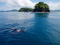 Mother and baby Humpback Whale being pursued by two other adult humpbacks.<br /><br />Vicinity of mouth of Honda Bay and adjacent islands.<br />Coiba National Park<br />Panama
