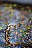 US, Florida, Everglades. Cypress swamp. Water moccasin aka Cottonmouth snake.