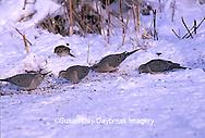 01081-00614 Mourning Doves (Zenaida macroura) in winter, Marion Co.   IL