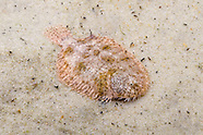 Hogchoker, Underwater