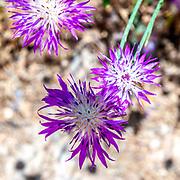 Centaurea aspera, the rough star-thistle, is a species of Centaurea found in Europe