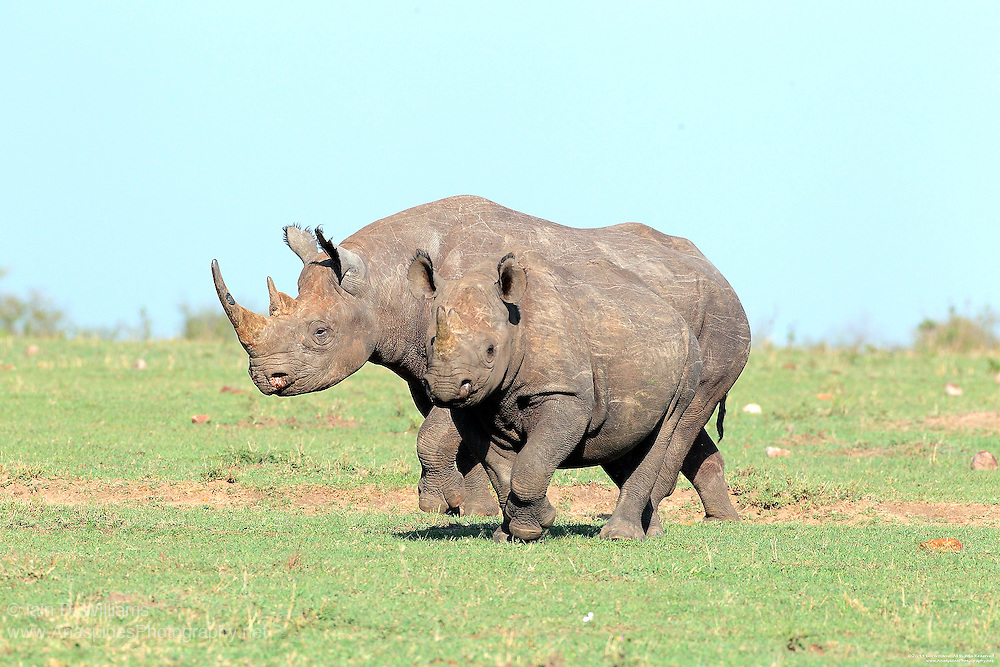 The Black Rhinoceros is highly endangered and listed on the IUCN Red List.  With a life span of 40-50 years black rhinos become sexually mature at 5 years with males claiming territories and mating at around the age of 12 years.  An extended time to recruitment, is one of the reasons these animals are critically endangered.  Poaching is the prime cause of danger to the rhino followed closely by habitat destruction