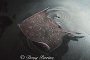 false thornback skate, spotted skate, or biscuit skate, Raja straeleni, (occurs West Africa to South Africa )