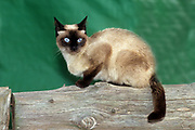 The Siamese cat is one of the first distinctly recognized breeds of Asian cat. Derived from the Wichianmat landrace, one of several varieties of cat native to Thailand (formerly known as Siam), the original Siamese became one of the most popular breeds in Europe and North America in the 19th century. The carefully refined, more extreme-featured, modern-style Siamese is characterized by blue almond-shaped eyes; a triangular head shape; large ears; an elongated, slender, and muscular body; and various forms of point colouration.