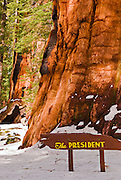 The President Giant Sequoia in winter, Giant Forest, Sequoia National Park, California