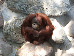 An Orangutan sits hunched, mimicking the surrounding rocks cemented in place at the Como Zoo