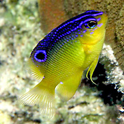 Cocoa Damselfish. juvenile, inhabit reefs, especially fore reefs with living coral, in Tropical West Atlantic; picture taken Grand Cayman.