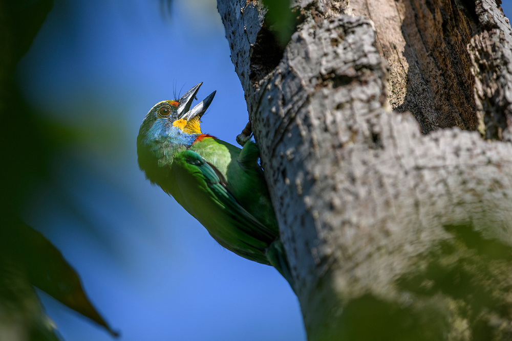 Taiwan Barbet, Psilopogon nuchalis, framed by foliage hollowing out a tree in a park in Taipei, Taiwan