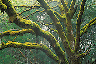 Trees and moss in spring, Orr Springs Road, near Ukiah, Mendocino County, California