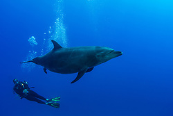 Female Bottlenose Dolphin, Tursiops truncatus, in the process of giving birth, observed by divemaster Jessie Hug.  The Boiler, San Benedicto Island, Revillagigedo Archipelago, Mexico, Pacific Ocean