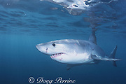 great white shark, white pointer, blue pointer, or man-eater<br /> Carcharodon carcharias, with large bite scar on side from another white shark, Dyer Island, Gansbaai, South Africa ( Indian Ocean )