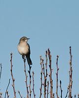 Northern Mockingbird (Mimus polyglottos). Image taken with a Nikon N1V3 camera and 70-300 mm VR lens.