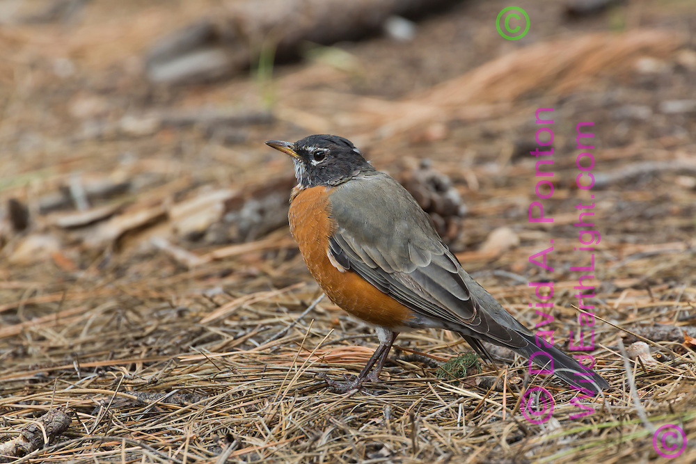 Robin searching floor of ponderosa pine forest for insect prey, © David A. Ponton
