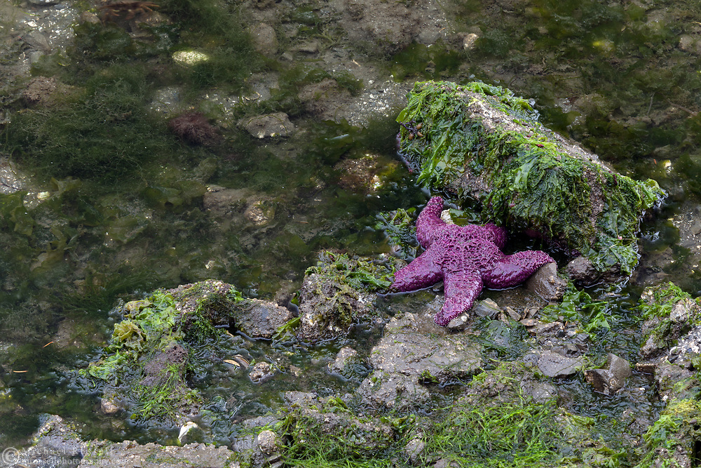 A large Purple Sea Star (Pisaster ochraceus) is exposed during a period of low tide. Photographed in Ganges Harbour in Ganges on Salt Spring Island, British Columbia, Canada.