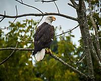 Bald Eagle. Image taken with a Nikon N1V3 camera and 70-300 mm VR lens (ISO 160, 300 mm, f/7.1, 1/320 sec)
