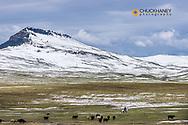 Herding cattle in pasture in spring near Augusta, Montana, USA