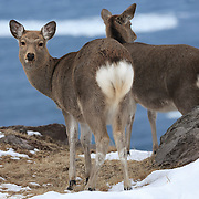 Japanese spotted deer (Cervus nippon yesoensis) foraging for food during winter, along the edge of a slope overlooking the Okhotsk Sea. Photographed in Shiretoko National Park, Utoro, Hokkaido, Japan.