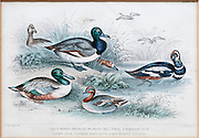 19th century artwork By J. Stewart Del containing: blue winged shoveler, Broad Bill, Teal, Harlequin Duck, Scaup duck and Red Headed Pochard